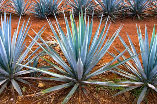 agave-maguey-sirope